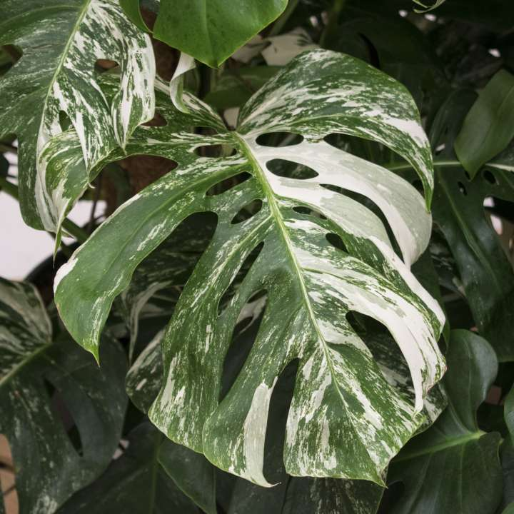 bonte monstera zoetermeer